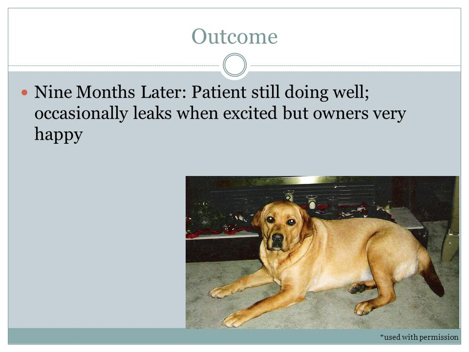 Outcome Nine Months Later: Patient still doing well; occasionally leaks when excited but owners very happy.