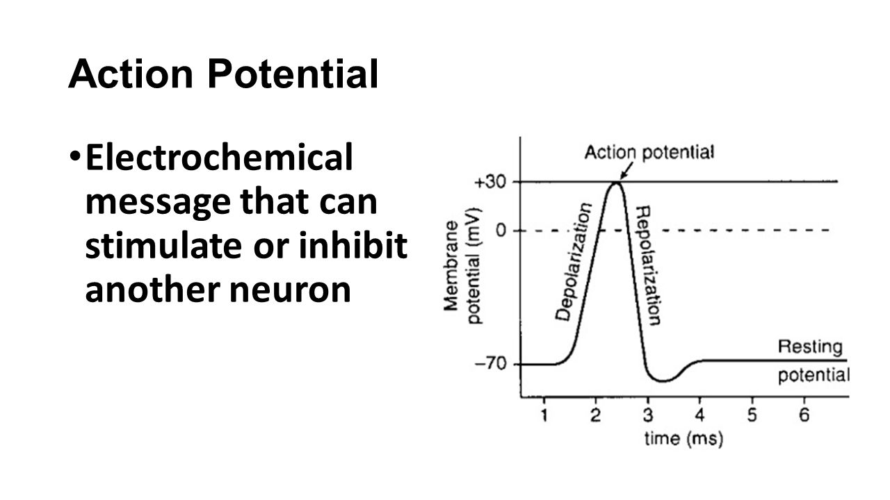 Action Potential Electrochemical message that can stimulate or inhibit another neuron