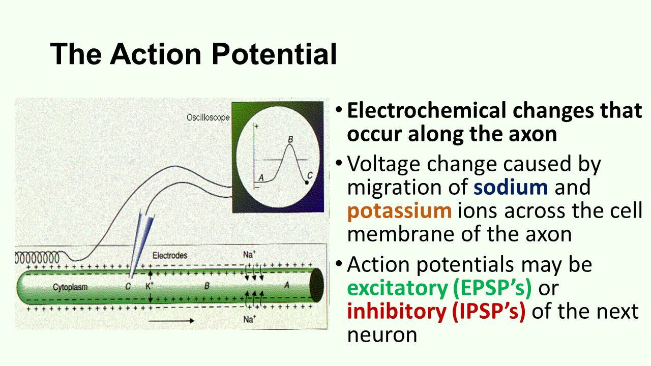 The Action Potential Electrochemical changes that occur along the axon