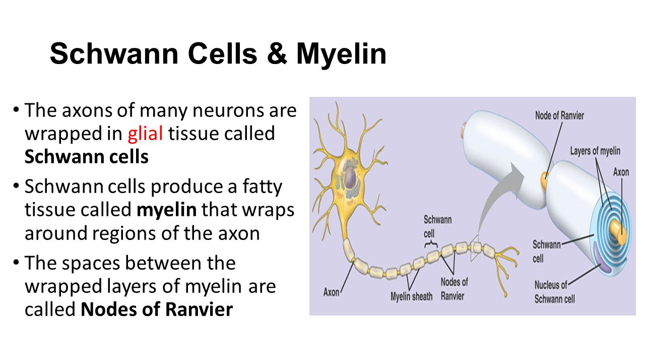 Schwann Cells & Myelin The axons of many neurons are wrapped in glial tissue called Schwann cells.