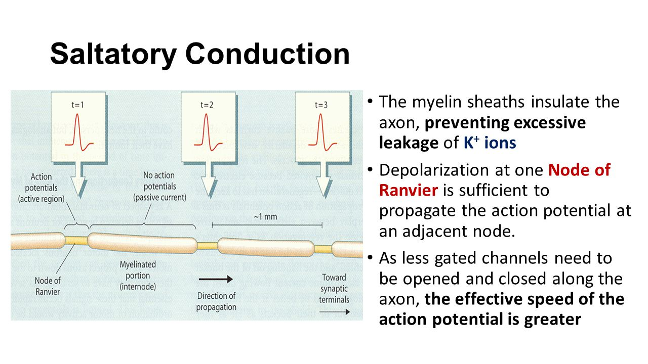 Saltatory Conduction The myelin sheaths insulate the axon, preventing excessive leakage of K+ ions.