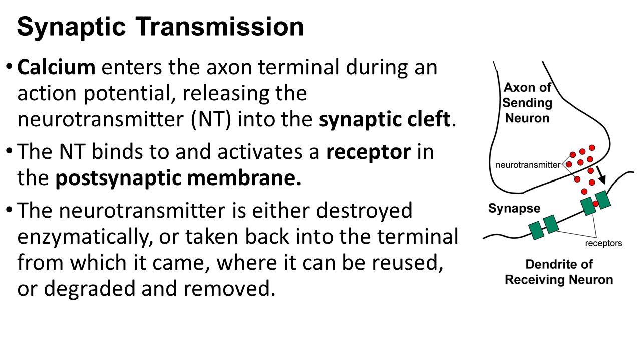 Synaptic Transmission