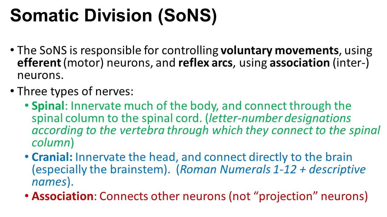 Somatic Division (SoNS)