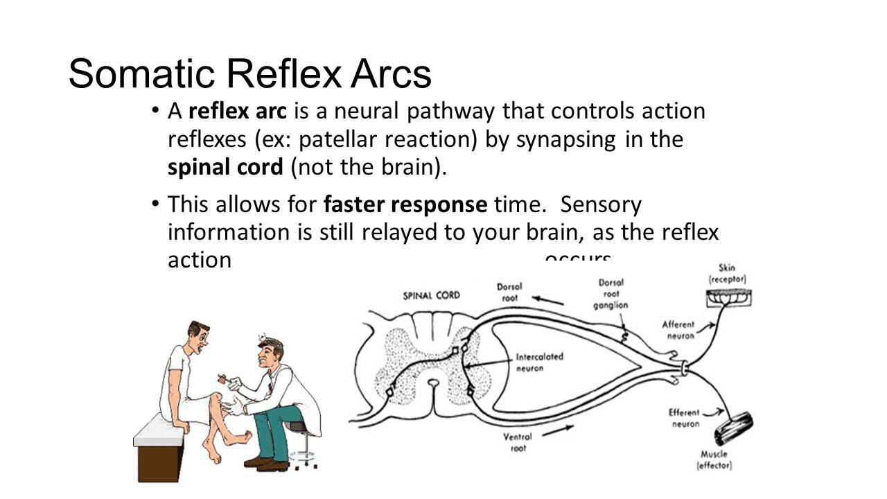 Somatic Reflex Arcs