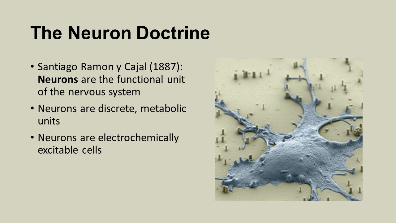 The Neuron Doctrine Santiago Ramon y Cajal (1887): Neurons are the functional unit of the nervous system.