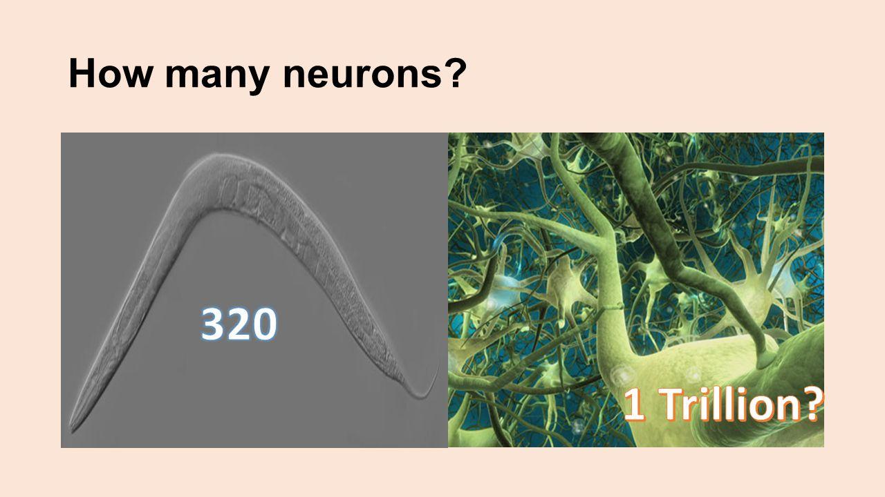 How many neurons 320 1 Trillion