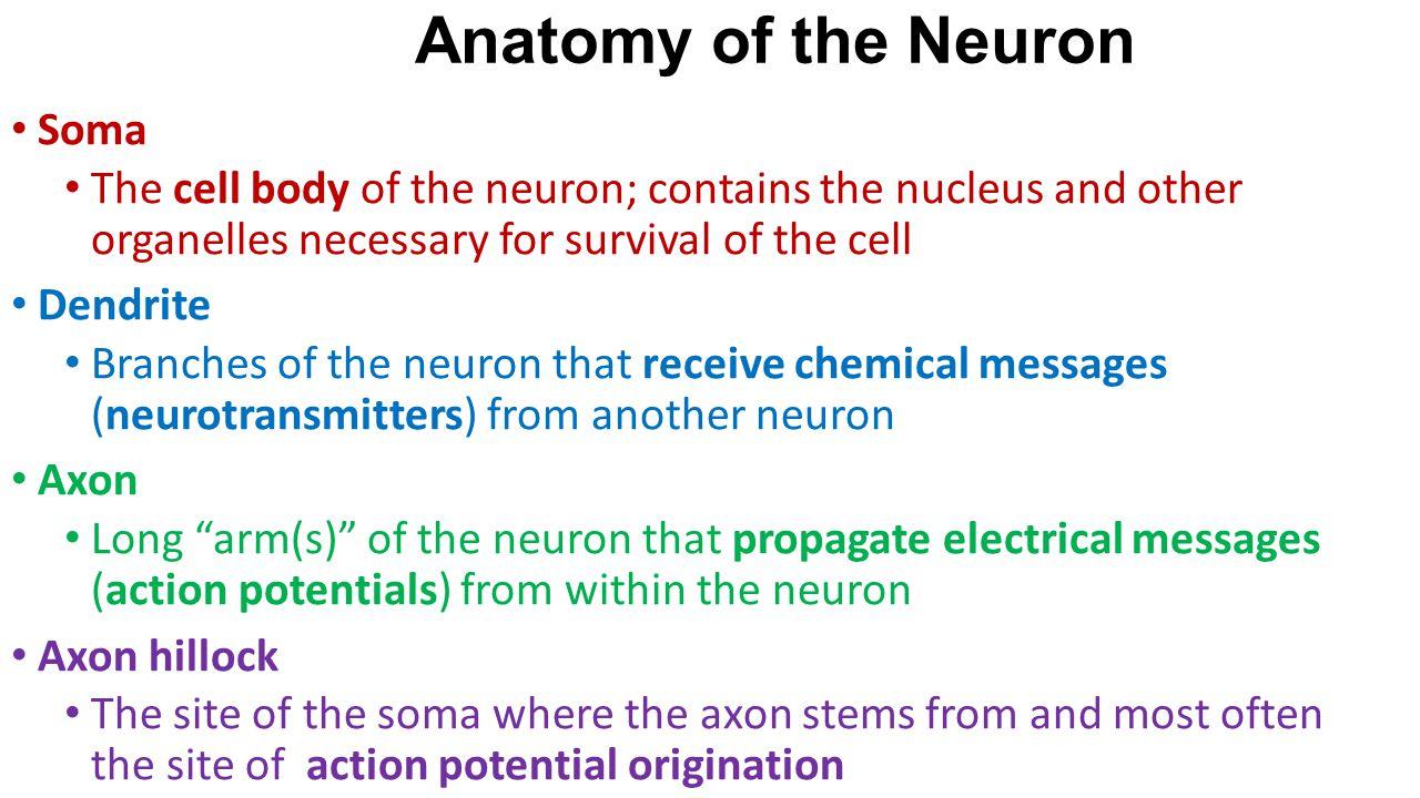 Anatomy of the Neuron Soma
