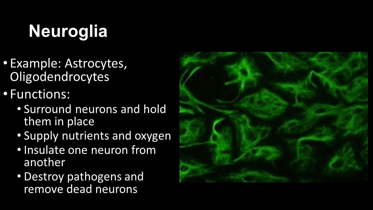 Neuroglia Functions: Example: Astrocytes, Oligodendrocytes