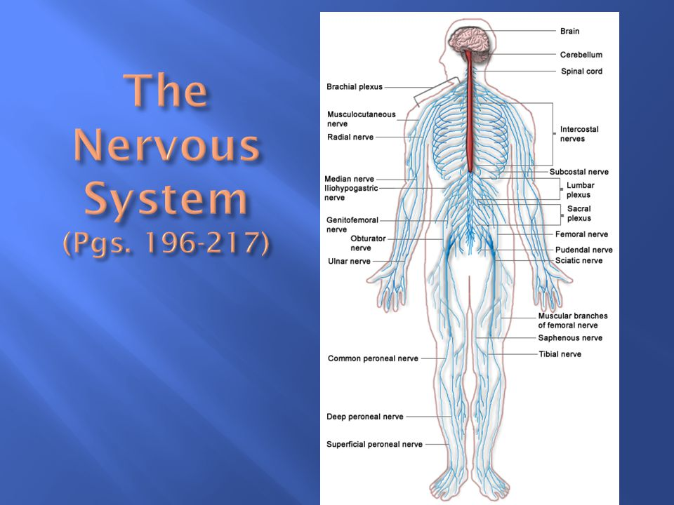 The Nervous System (Pgs )
