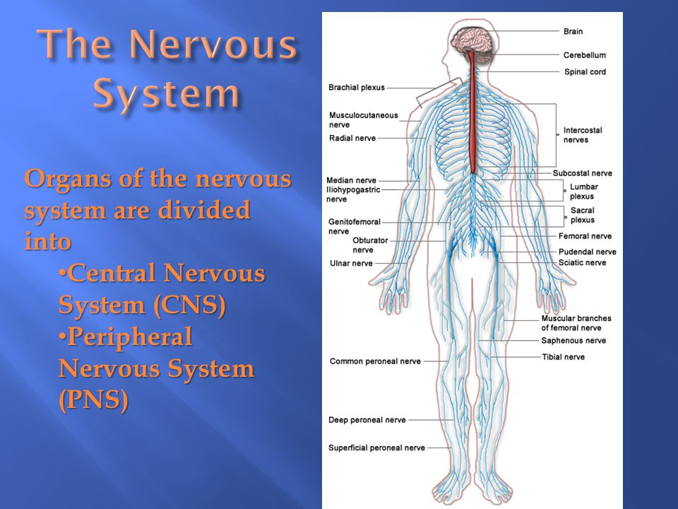 The Nervous System Organs of the nervous system are divided into