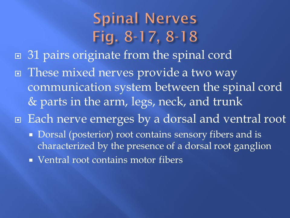 Spinal Nerves Fig. 8-17, 8-18 31 pairs originate from the spinal cord