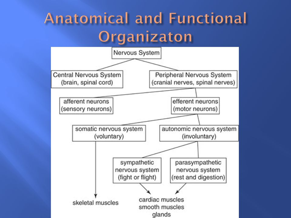Anatomical and Functional Organizaton