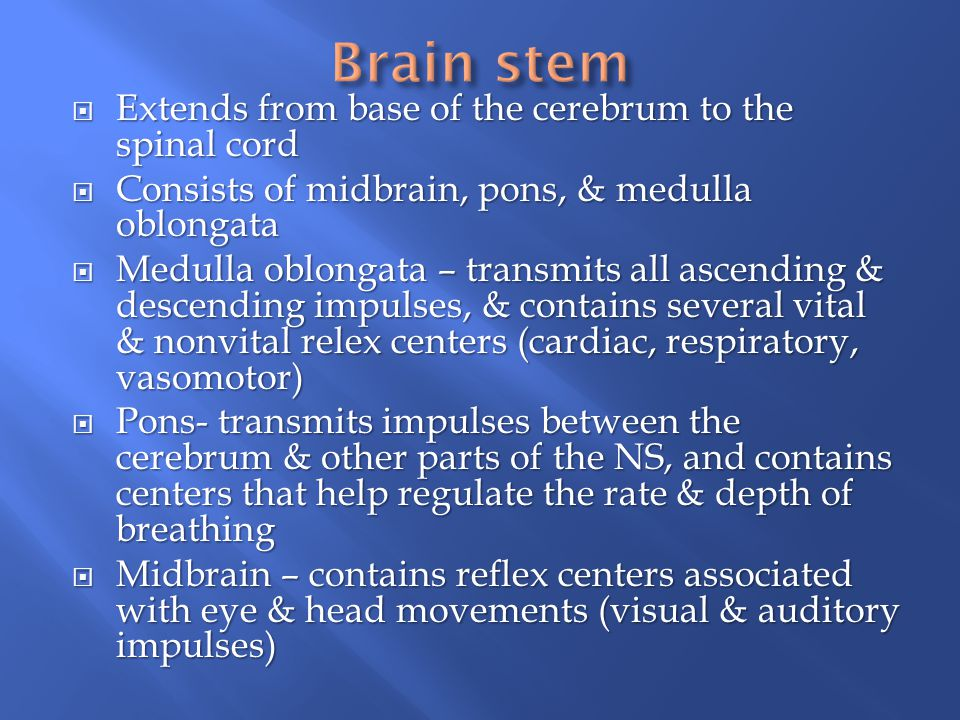 Brain stem Extends from base of the cerebrum to the spinal cord