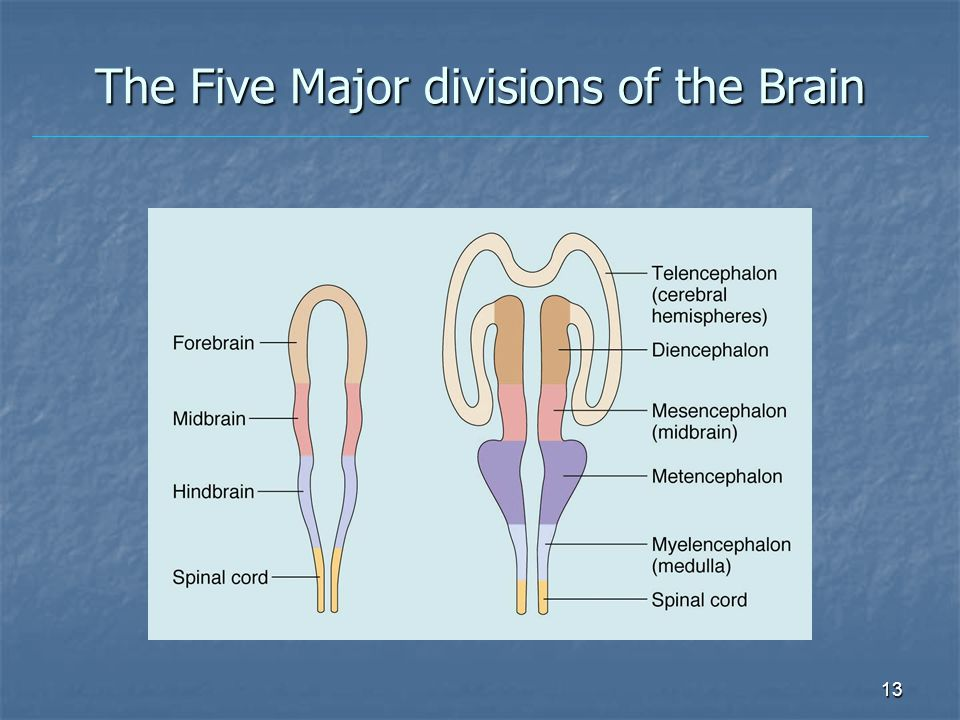 The Five Major divisions of the Brain