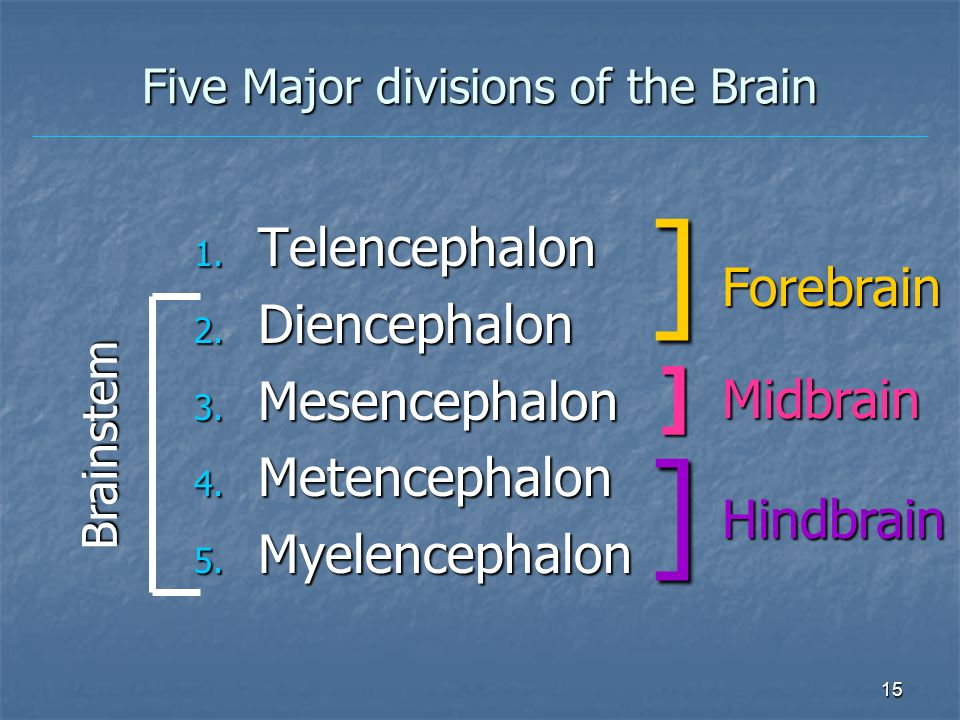 Five Major divisions of the Brain