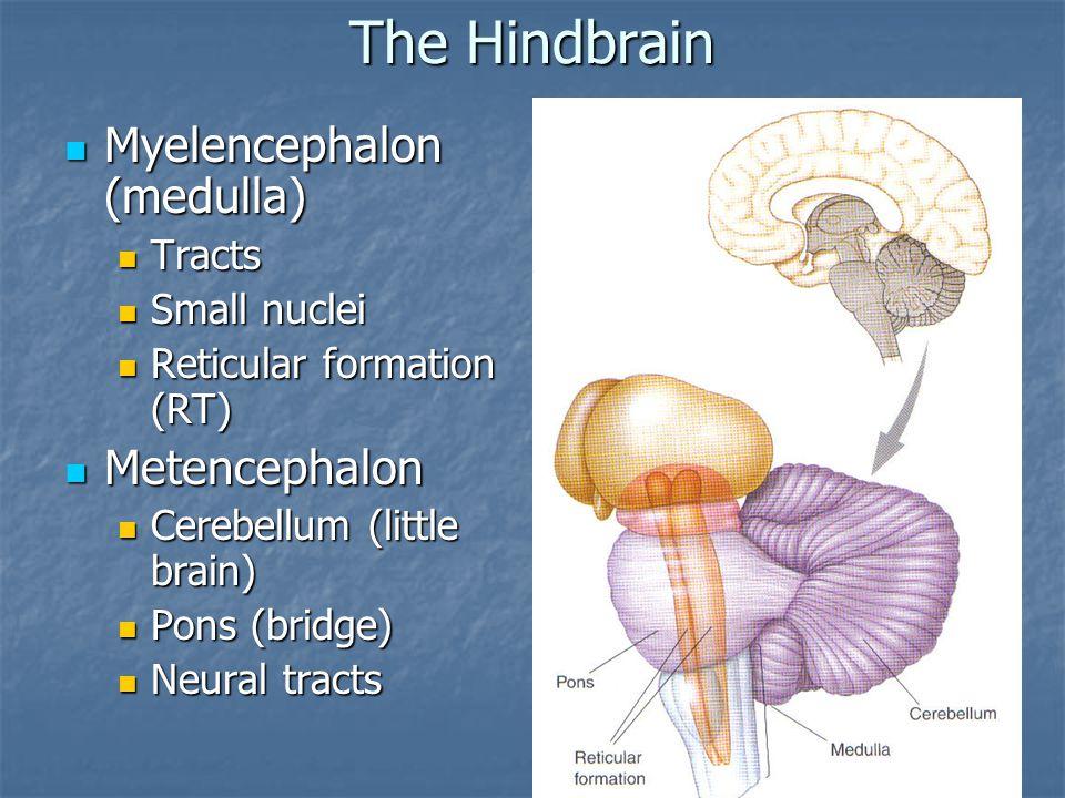 The Hindbrain Myelencephalon (medulla) Metencephalon Tracts