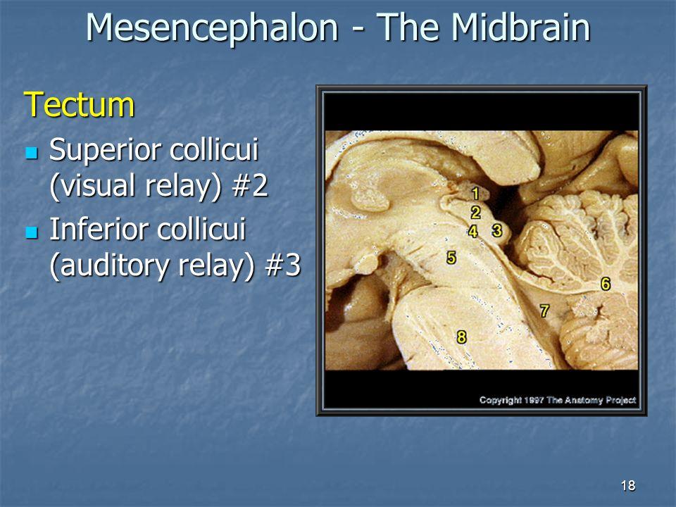 Mesencephalon - The Midbrain