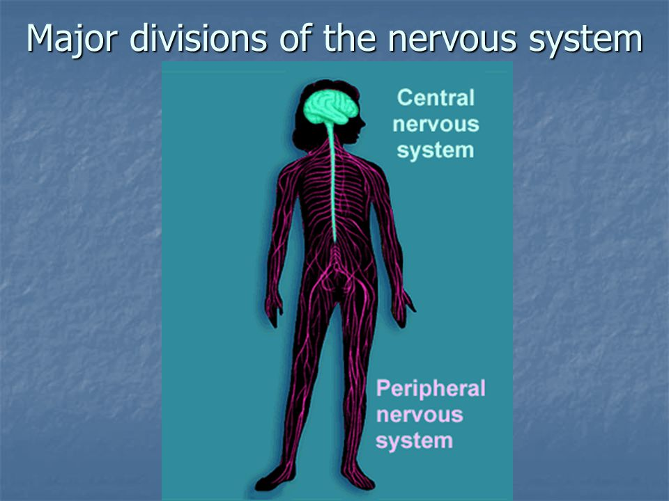 Major divisions of the nervous system