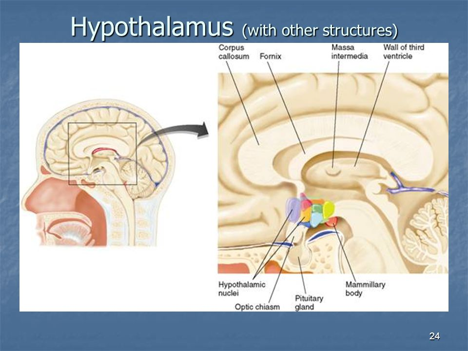 Hypothalamus (with other structures)