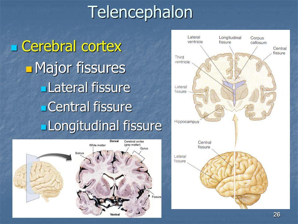 Telencephalon Cerebral cortex Major fissures Lateral fissure