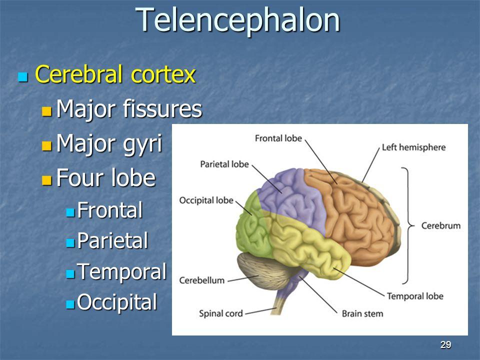 Telencephalon Cerebral cortex Major fissures Major gyri Four lobe