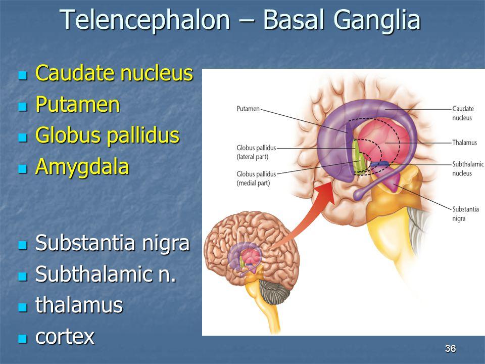 Telencephalon – Basal Ganglia