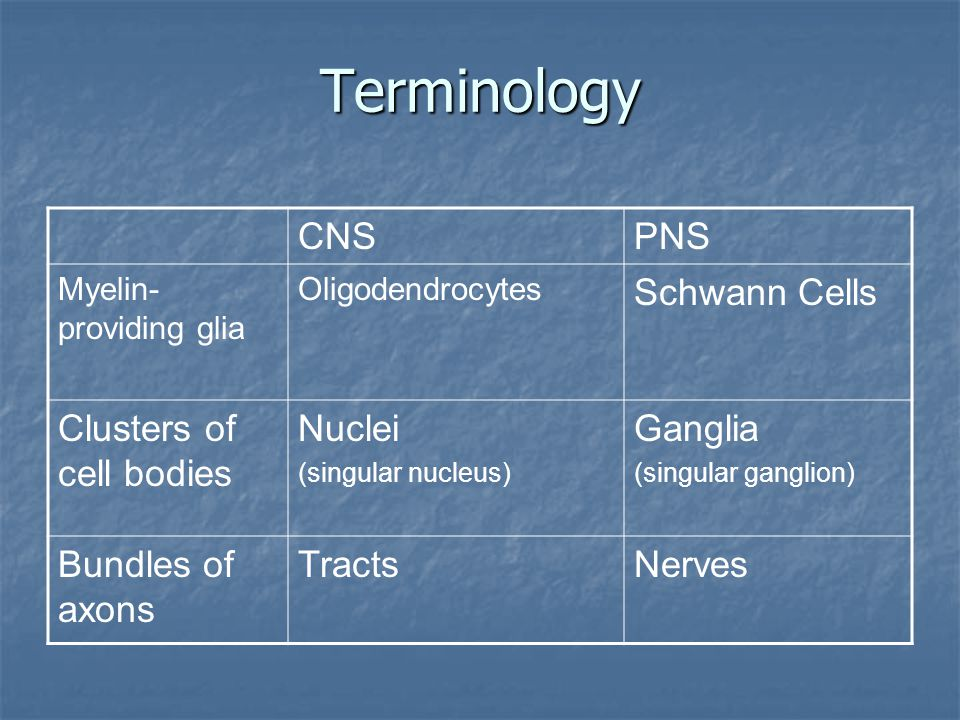 Terminology CNS PNS Schwann Cells Clusters of cell bodies Nuclei