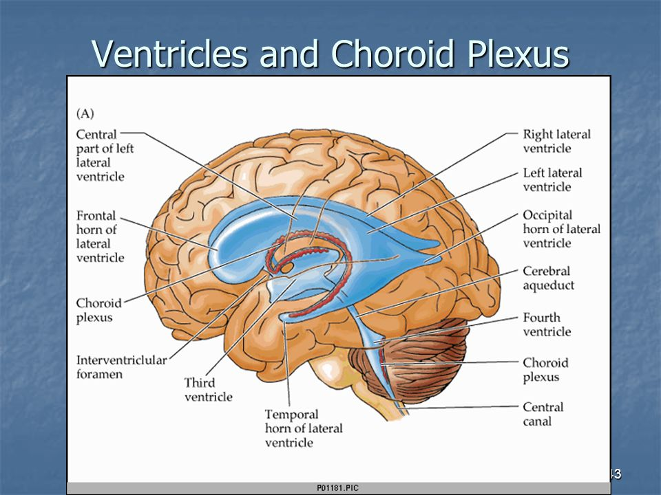 Ventricles and Choroid Plexus