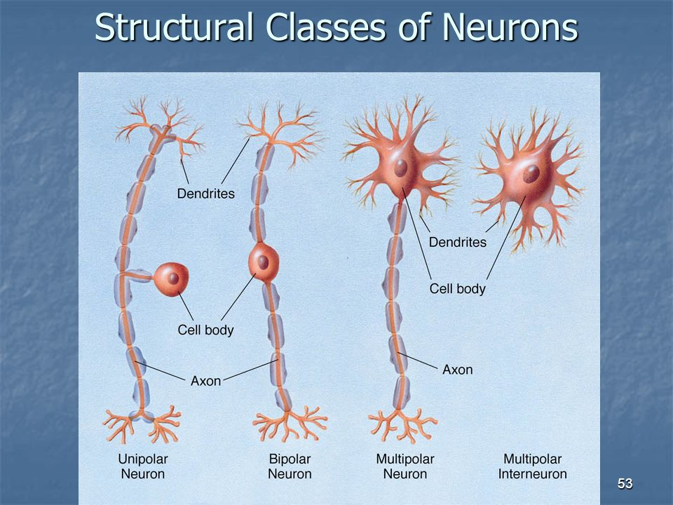 Structural Classes of Neurons
