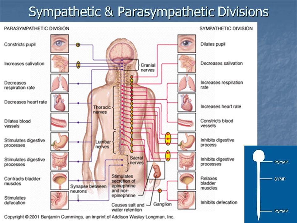 Sympathetic & Parasympathetic Divisions