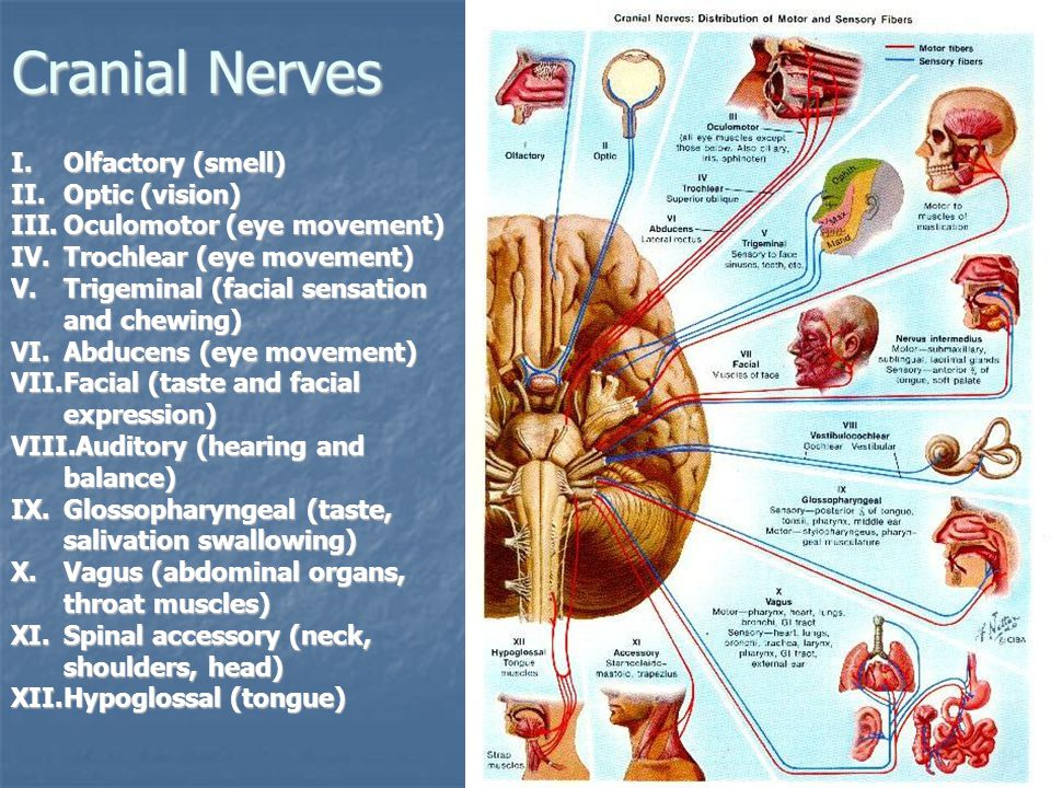 Cranial Nerves Olfactory (smell) Optic (vision)