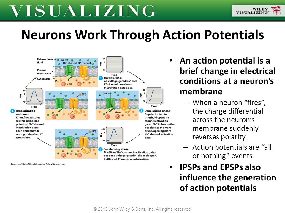 Neurons Work Through Action Potentials