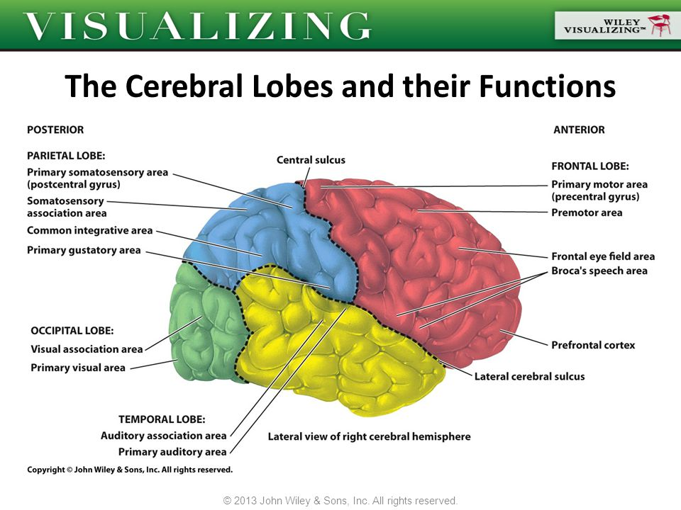 The Cerebral Lobes and their Functions