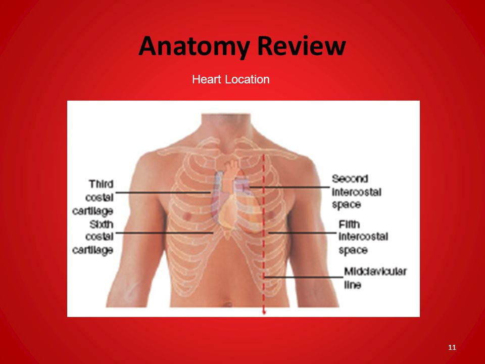 Anatomy Review Heart Location