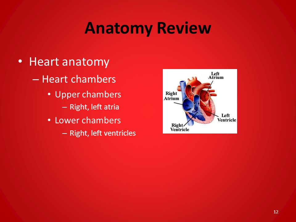 Anatomy Review Heart anatomy Heart chambers Upper chambers