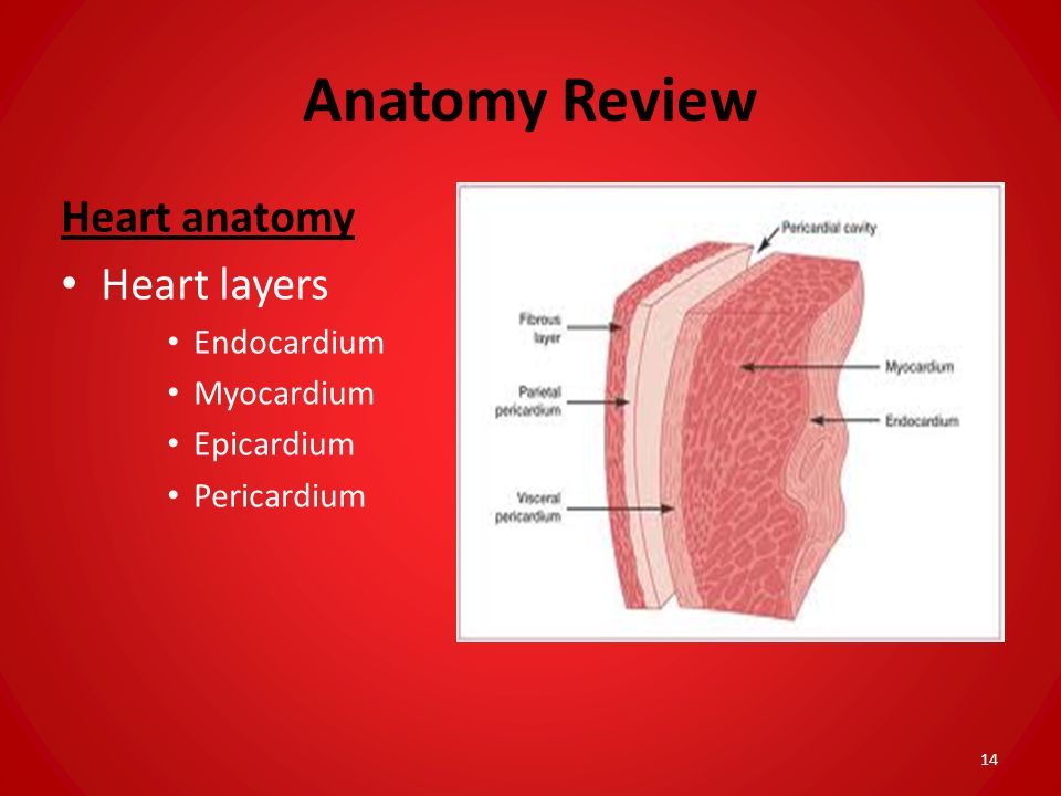 Anatomy Review Heart anatomy Heart layers Endocardium Myocardium