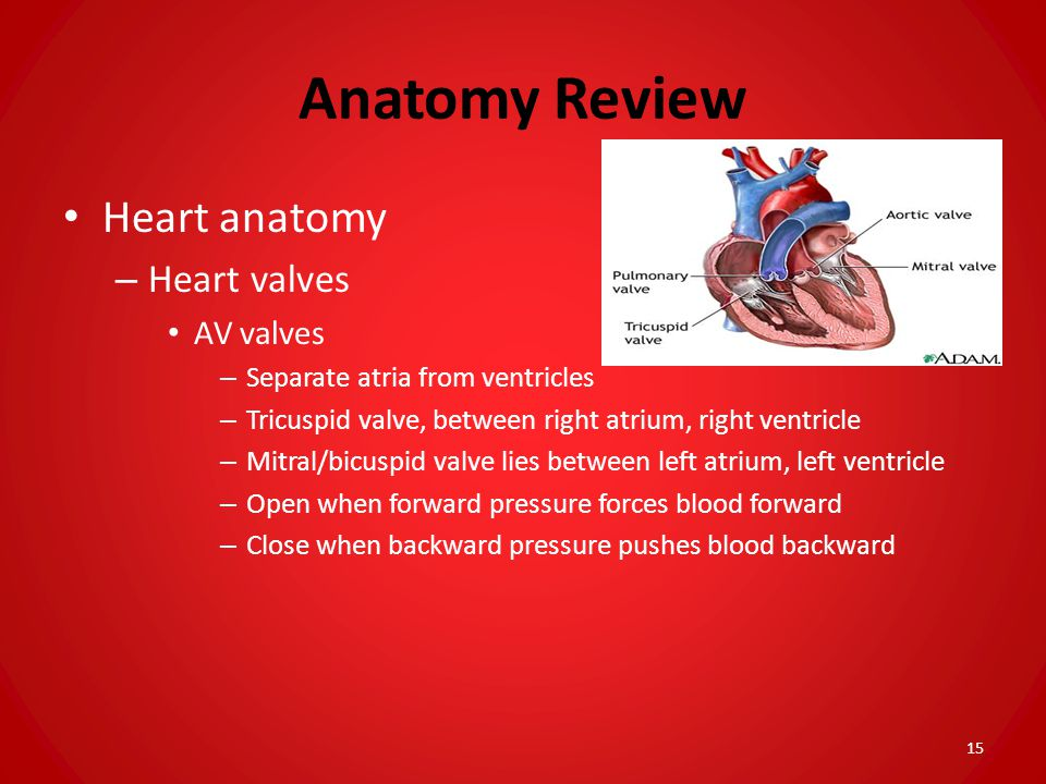Anatomy Review Heart anatomy Heart valves AV valves