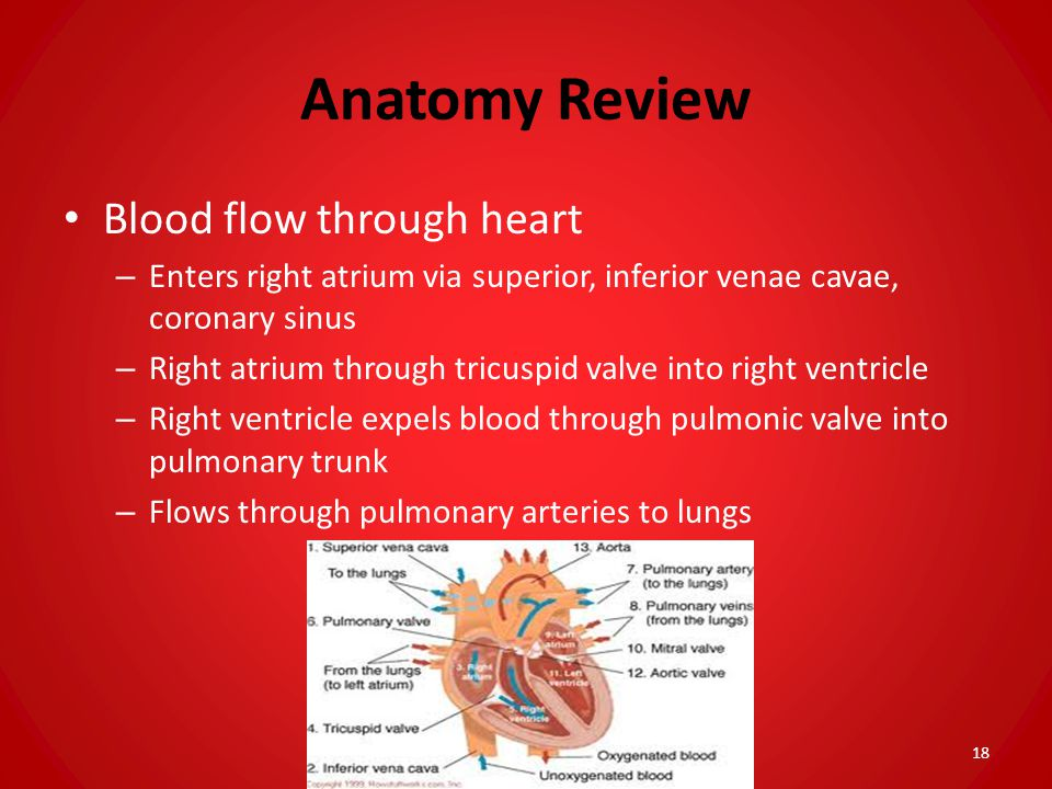 Anatomy Review Blood flow through heart