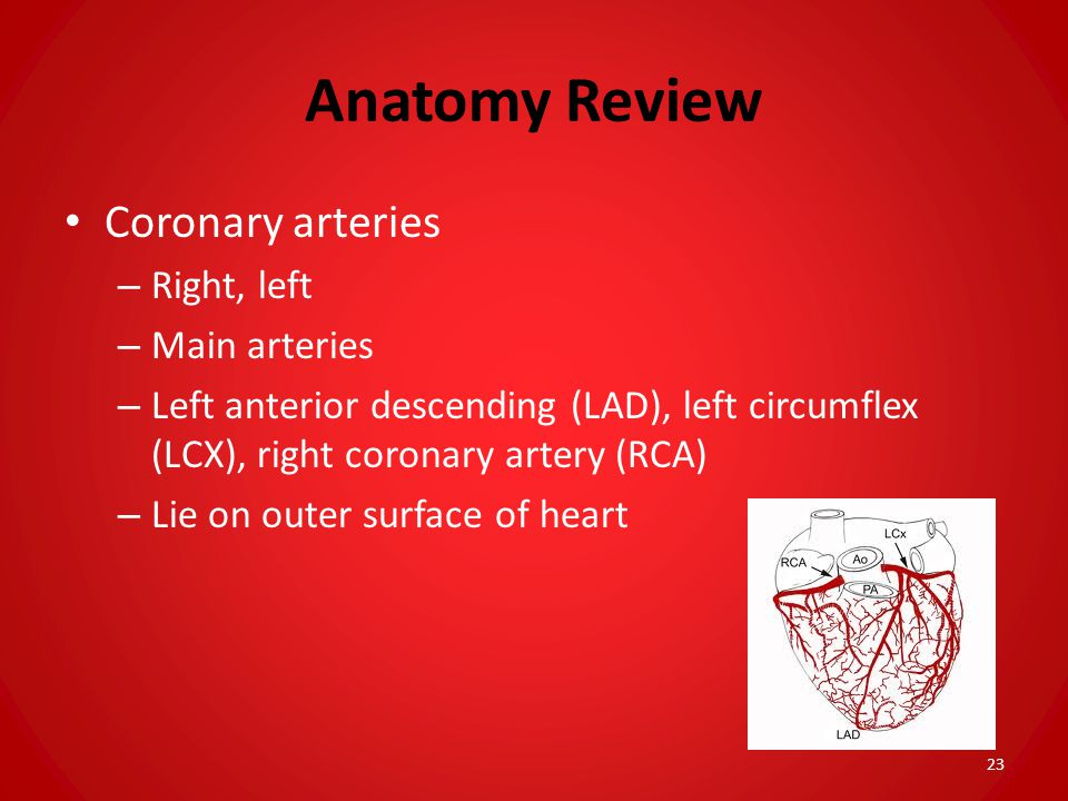 Anatomy Review Coronary arteries Right, left Main arteries