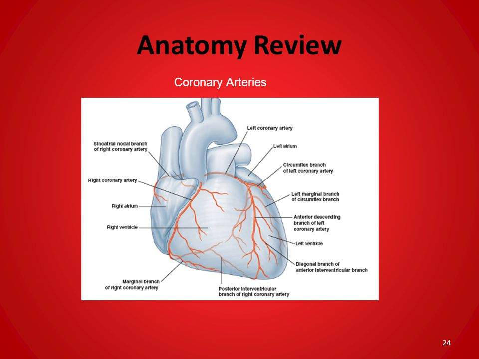 Anatomy Review Coronary Arteries