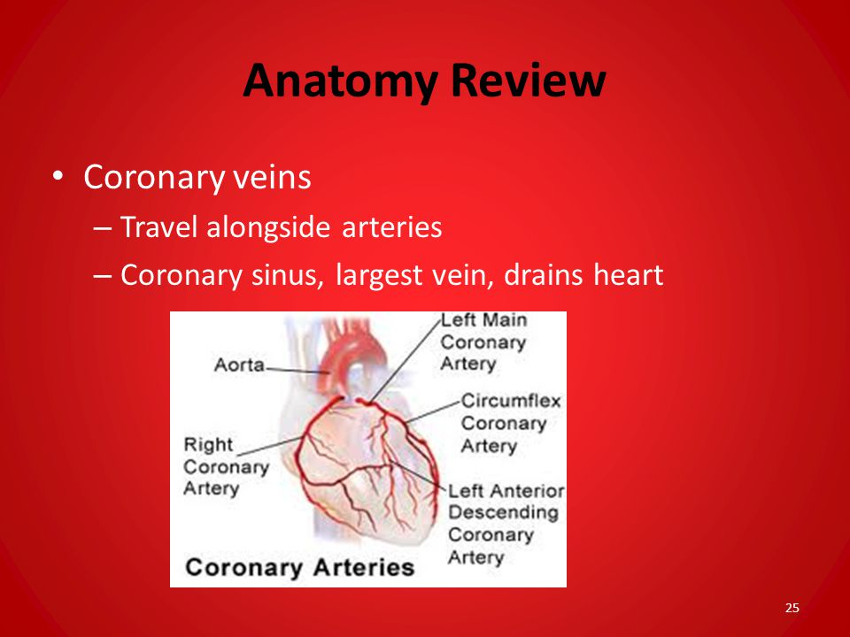 Anatomy Review Coronary veins Travel alongside arteries