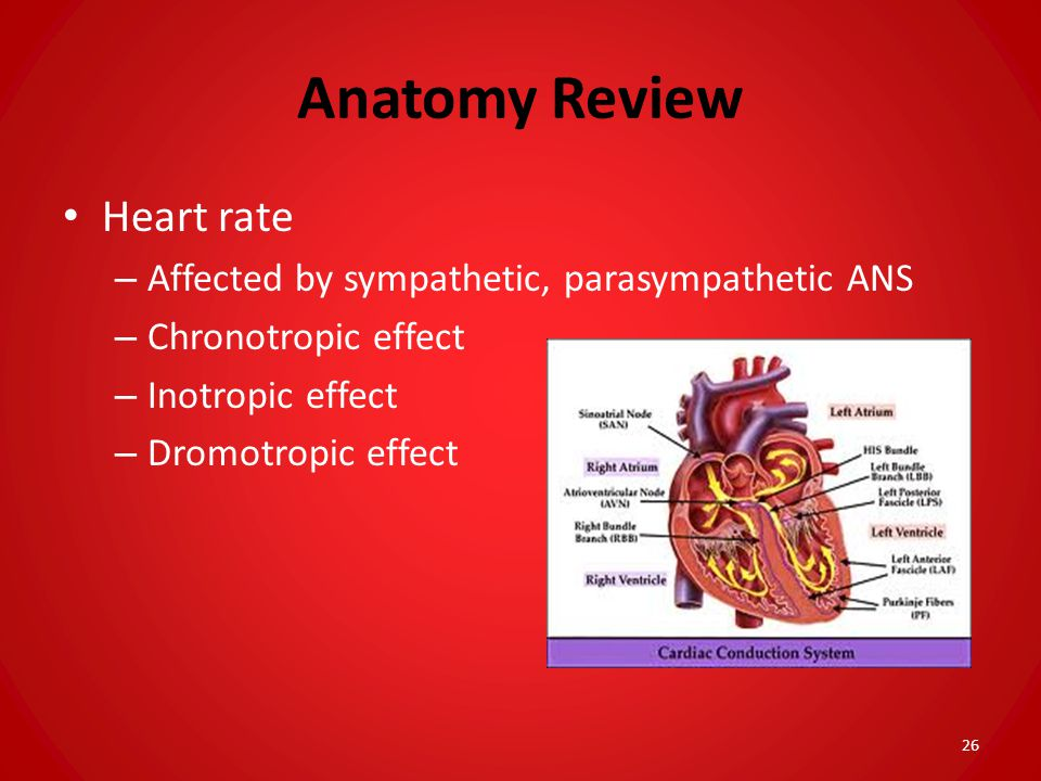 Anatomy Review Heart rate Affected by sympathetic, parasympathetic ANS