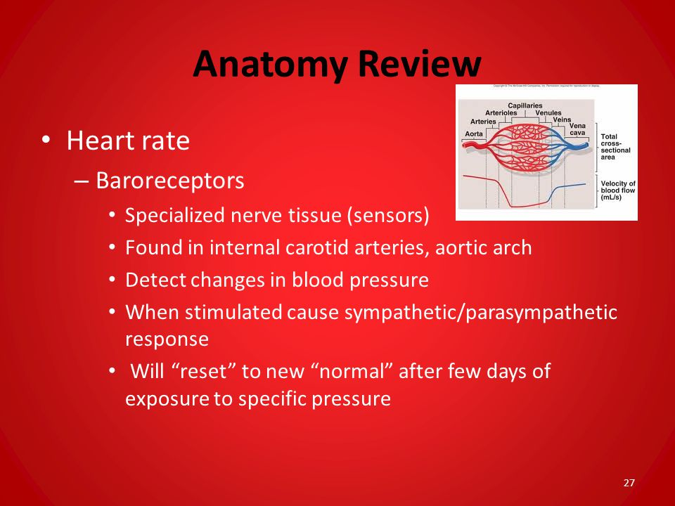 Anatomy Review Heart rate Baroreceptors