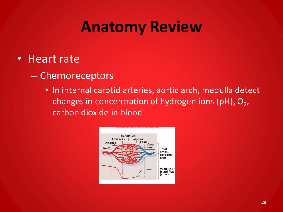 Anatomy Review Heart rate Chemoreceptors