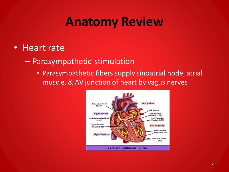 Anatomy Review Heart rate Parasympathetic stimulation