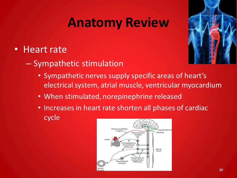Anatomy Review Heart rate Sympathetic stimulation