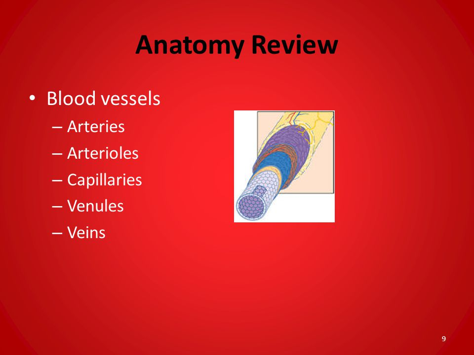 Anatomy Review Blood vessels Arteries Arterioles Capillaries Venules
