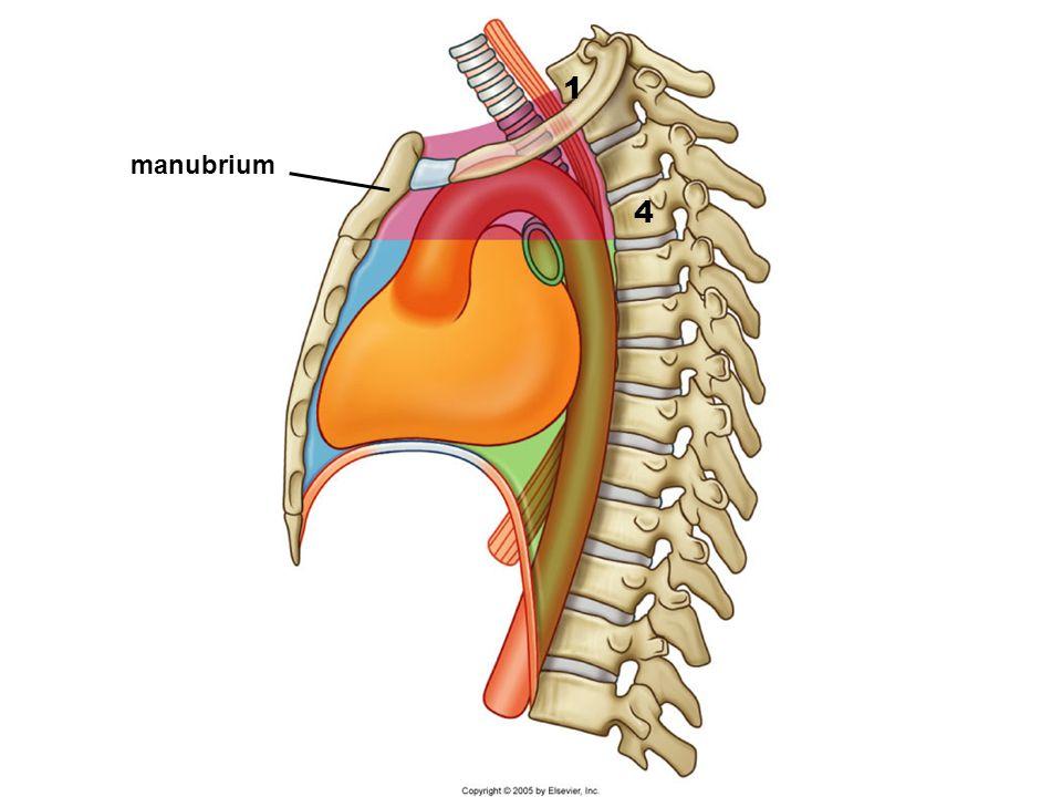 1 manubrium 4
