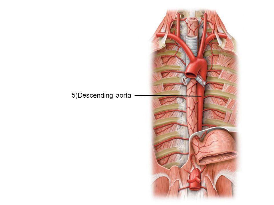 5)Descending aorta