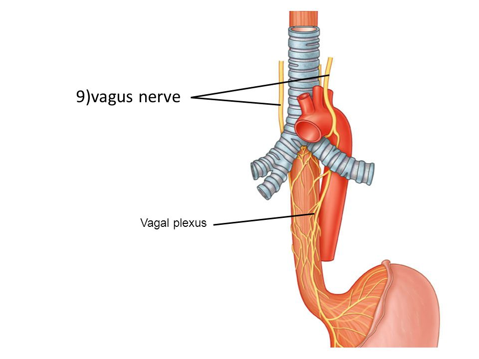 9)vagus nerve Vagal plexus